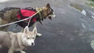 Mi Siberian Husky México :) Sally & Summer