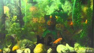 Мой аквариум мои любимые рыбки скалярии и золотые(, 2013-03-20T18:31:29.000Z)