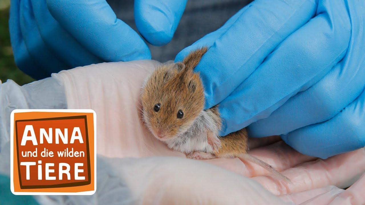 Wer Lasst Die Maus Raus Doku Reportage Fur Kinder Anna Und Die Wilden Tiere Youtube
