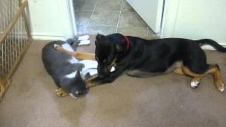 German Shepherd Mix Puppy + Kitten Grooming