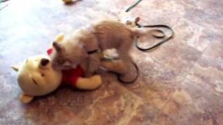 Cairn Terrier Violates Pooh Bear
