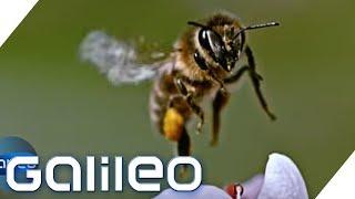 Zur Lage der Biene: Stirbt die Honigbiene wirklich aus? | Galileo | ProSieben
