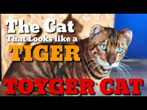 The Cat that Looks like a TIGER: Toyger Cat Domestic Toy Tiger Inspiration for Tiger Conservation