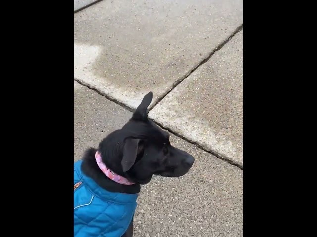 Foster dog in wheelchair waits for little girl to get off the bus every day