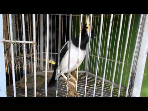 GT-BG #2 Asian Pied Starling, Diligent babbling the singing is melodious Make Goosebumps