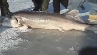 ЗИМНЯЯ РЫБАЛКА, ПОДЛЕДНАЯ РЫБАЛКА НА ОСЕТРА / FISHING FOR STURGEON