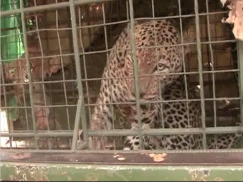 Leopard captured at the Man Eaters Tsavo National Park
