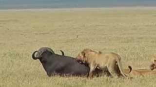 Lions Attack Cape Buffalo in Ngorongoro Crater, Tanzania 4th of 4 DSCN1365
