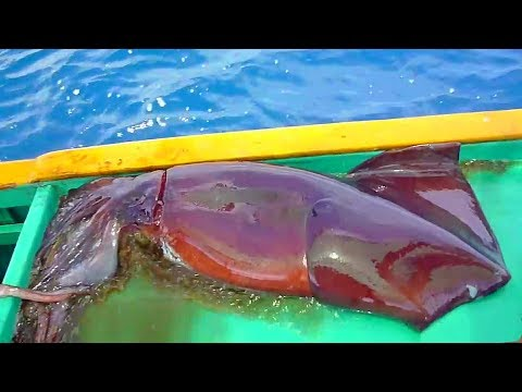 Huge Squid. Fishermen