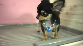 岡山県の倉敷市で子犬販売をしているペットショップ リーマに入店したチ...