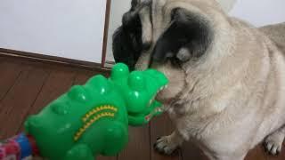 パグ犬ムゥに,ワニのオモチャで戦いを挑みました。ムゥちゃんは,すぐに...