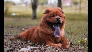 Самые дорогие породы собак в мире. Собаки которые стоят тысячи долларов