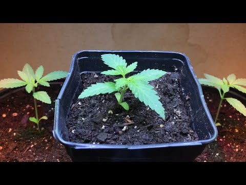 My First Weed Grow - Day 20 - Slight Improvements