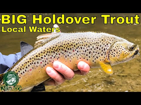BIG Holdover Trout – Fly Fishing Local Waters