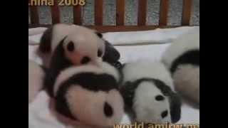Малыши панды  - самые милые создания в мире
