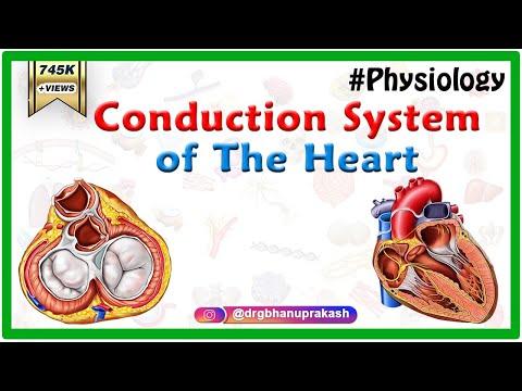 Conduction system of the heart - Sinoatrial node, AV Node, Bundle of His, Purkinje fibers Animation