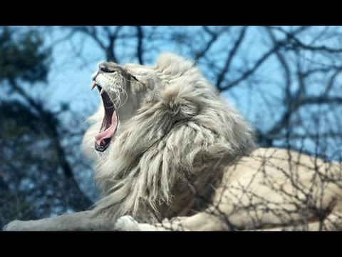 White Lion Roar (Very Rare Footage)
