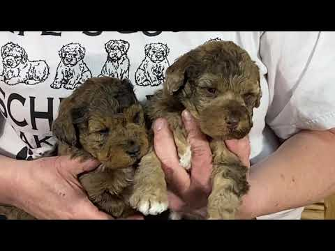 Penny's schnoodle puppies  April 8, 2020