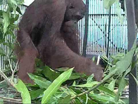 Rescued orangutan builds a nest
