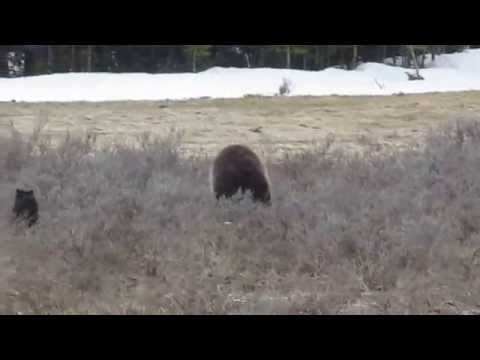 Yellowstone National Park - Mama grizzly with cub hunting Unita ground squirrels