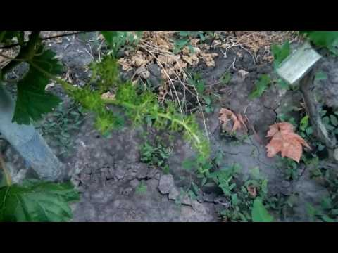 цветение винограда 2017 года фараон ромэо киш миш цитронный