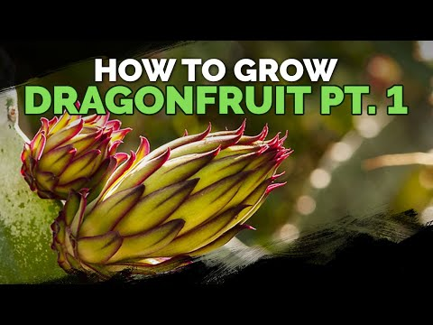 How to Grow Dragon Fruit (Part 1) | Soil, Sun, Water, Containers, and Fertilizing