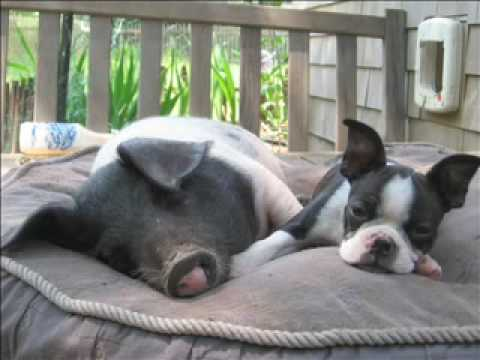 CapeCast: A dog and pig love story