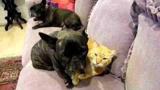 French Bulldog Yoda Cat Bath - French Bulldog Zelda Jealous
