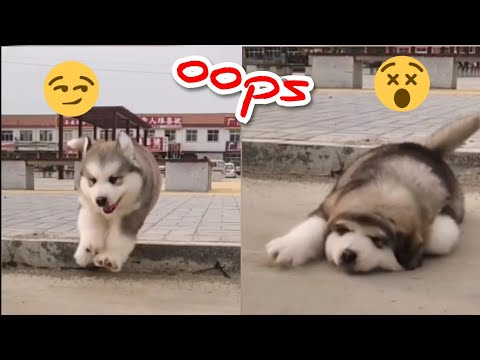 cute-baby-alaskan-malamute-funny-and-cute-puppies-compilation