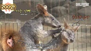 어쩜 우린 복잡한 인연에 서로 엉켜 있는 왈라비인가 봐ㅣHave you ever seen a baby wallaby? (cuteness overload)