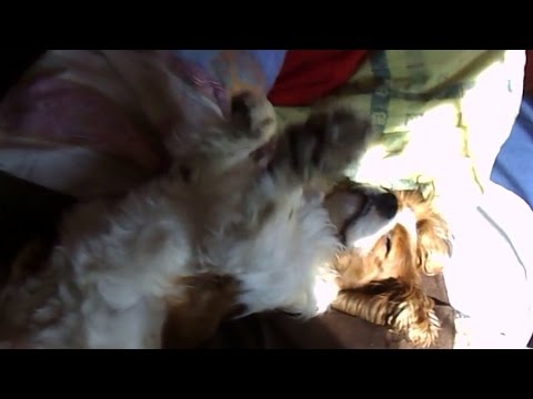 Cavalier King Charles Spaniel - Everyday activities (short) - [Paca]