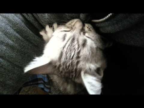 Funny Kitten British Shorthair Silver Tabby Misha