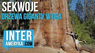 🤜Sekwoje  - Drzewa Giganty w USA (Kalifornia)