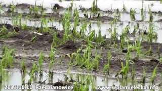 Nawałnica z gradem Rzędzianowice 10.06.2013 - zniszczone uprawy dzień po...