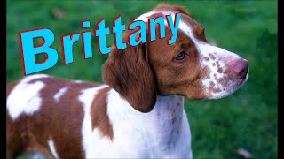 Brittany Dog Breed Info.  How to Choose Dogs