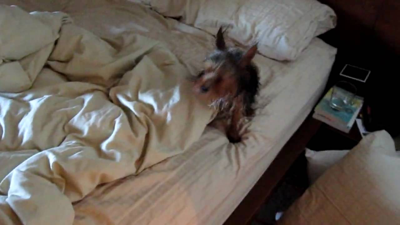 Wet dog pees on the bed. - YouTube