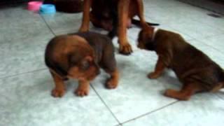 Super Hybrid Dog - Pit Roterman Bulldog, 27days