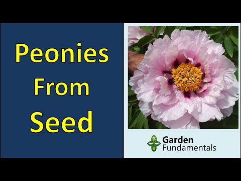 Growing Peonies From Seed 💐🌺💐 Collecting, Germinating and Growing to Maturity
