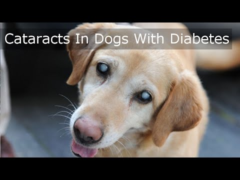 cataracts-in-dogs-with-diabetes---must-see-video
