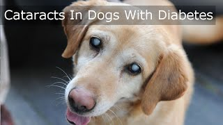 Cataracts In Dogs With Diabetes - MUST SEE Video