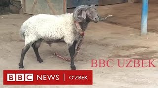 Ўзбекистон: қўчқор урушга қандай тайёрланади? - BBC Uzbek
