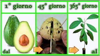 Download lagu TIME LAPSE  crescita AVOCADO, 0 - 365 gg da seme step by step , aguacate,  avocat,  abacate,