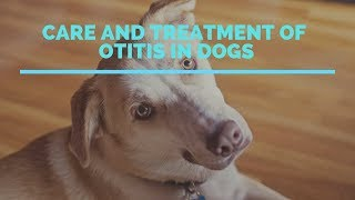 Care And Treatment Of Otitis In Dogs