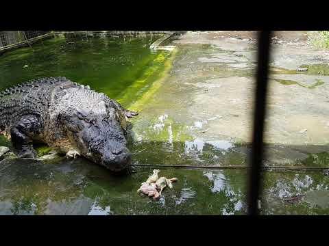 A huge Saltwater crocodile feeding