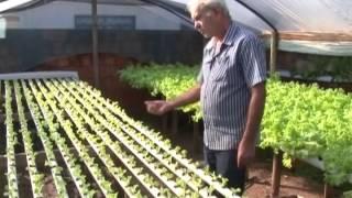 Agricultores escolhem a técnica da hidroponia para o plantio da alface