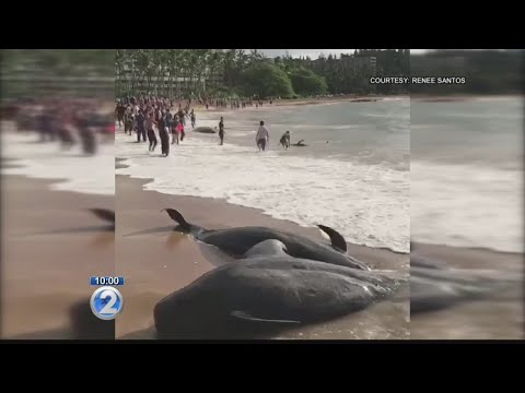 At least 5 whales dead in mass stranding on Kauai's south shore