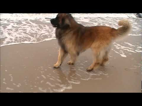 Leonberger Bugsy at sea June 2010.wmv