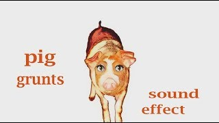 The Animal Sounds: Pig Grunts - Sound Effect  - Animation
