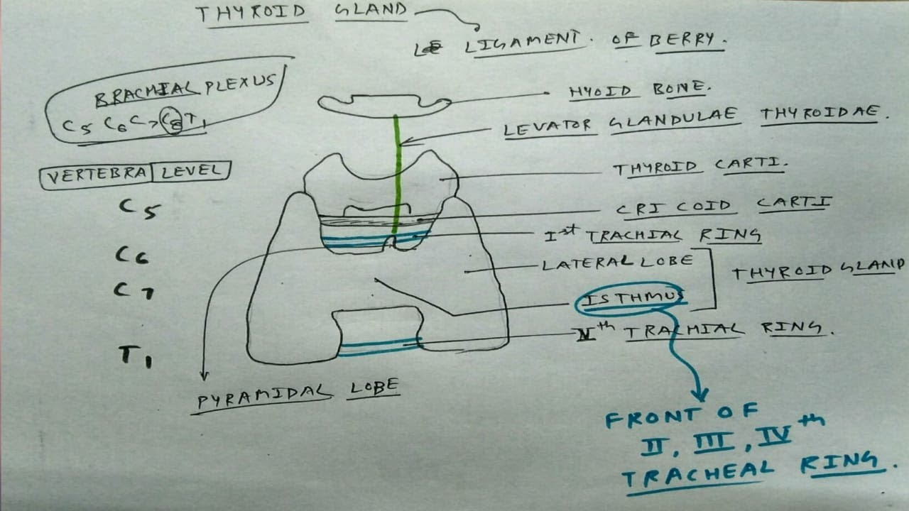 Thyroid Gland Basic Youtube