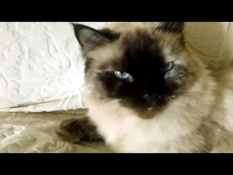Coco The Ragdoll Cat